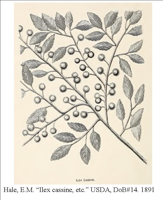ilex-cassine-1891-usda