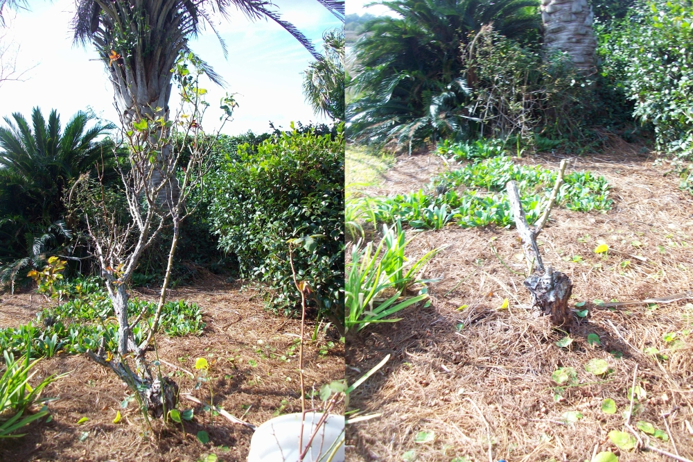 hybird-tea-rose-pruning