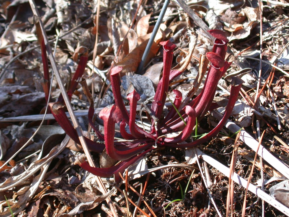 Mountain Sweet Pitcher Plant