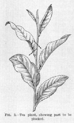 plucking leaf